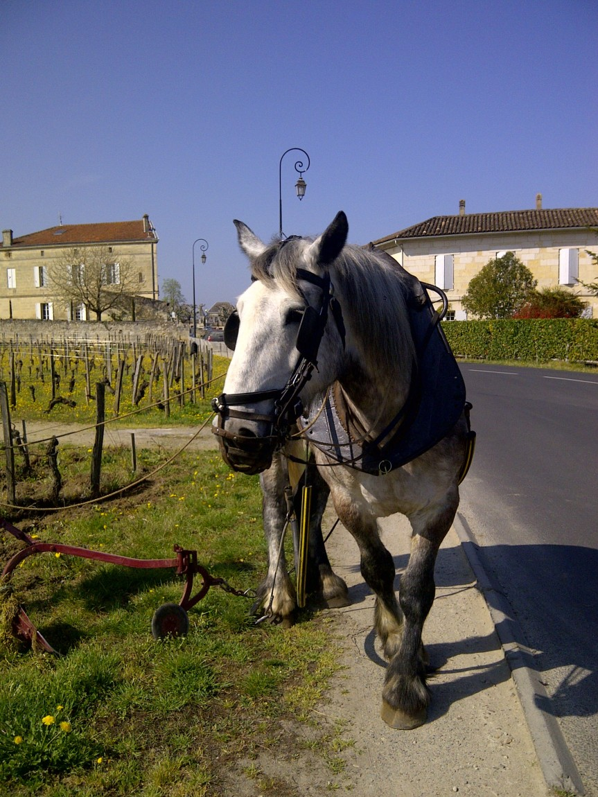 Ploughing in St Emilion with horse power
