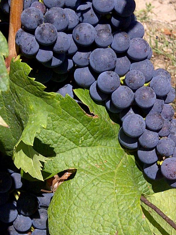 Bordeaux's Key Grape VarietyAromas