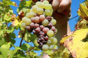 botrytis-grapes-300x199