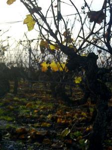 Sauternes-20121121-02848