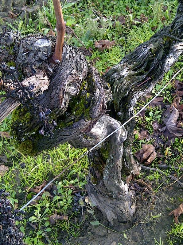 Old Merlot vine 70 years