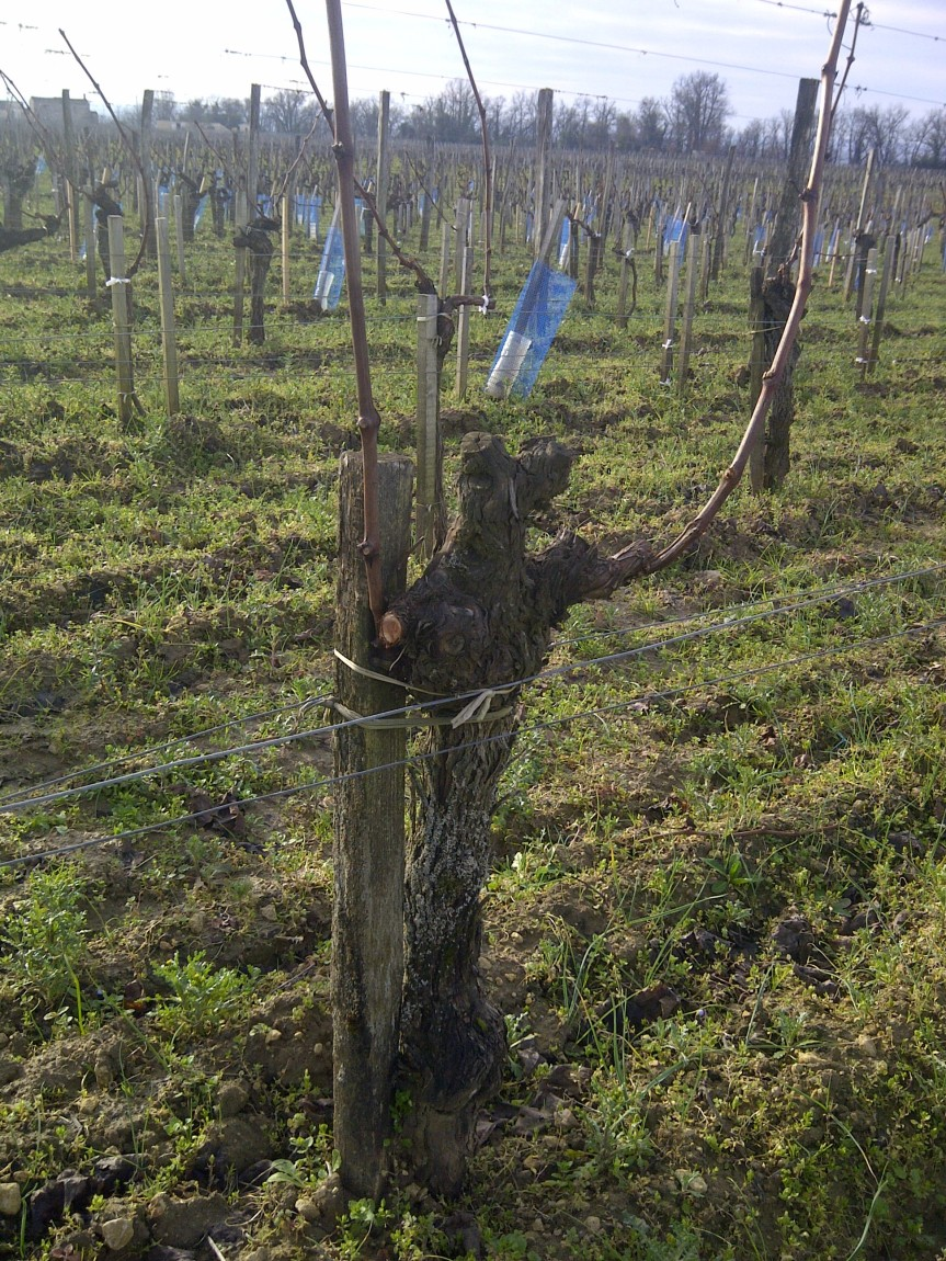 No short-cuts: pruning by hand just about over in the Vineyards ofBordeaux