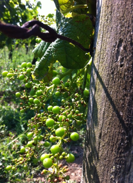 2013 Bordeaux already a year of extremes but better for Cabernet  – sofar