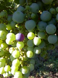 Merlot grapes at the beginning of véraison in St Emilion