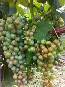 Merlot grapes took the full brunt