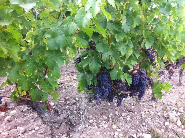 Bordeaux Harvest 2013 – is there hope?