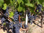Bordeaux 2013 Vineyard Start September Update
