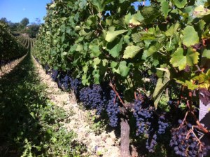 Merlot grapes in the late summer sunshine in St Etienne de Lisse, St Emilion