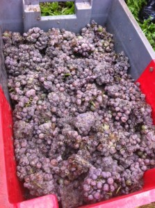 Perfect grapes  in Sauternes  in 2013