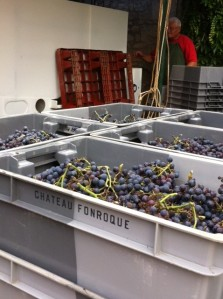 Organic Merlot grapes some of the forst to be harvested in 2013