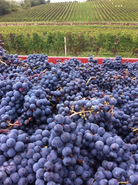 2013 Bordeaux Harvest – Nature enforced earlier than hoped