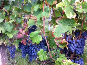 Cabernet Franc picked by hand in St Laurent des Combes, St Emilion