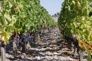 HautBailly_Vines