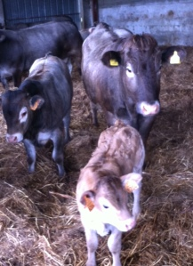 The  calves go grey only when they are about 4 months old