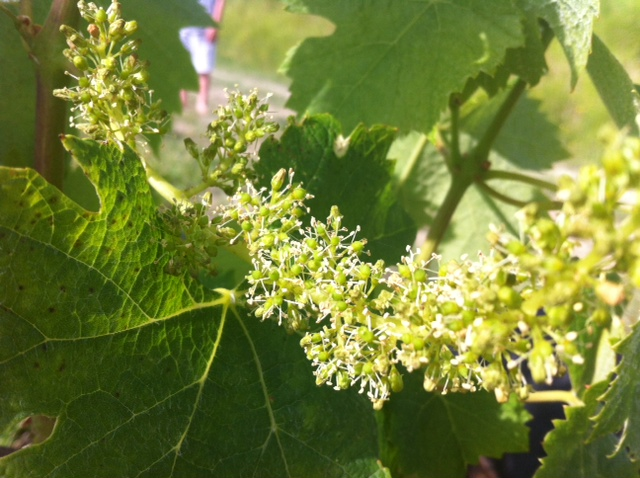 Bordeaux 2014: Perfect Flowering season so far for most, top Medoc savaged by hail