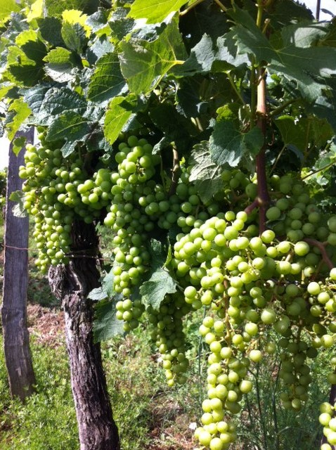 Harvest Bordeaux 2014 set for endSeptember
