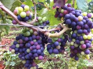 Merlot grapes at Château Béard La Chapelle, St Emilion Grand Cru