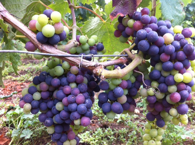 Bordeaux 2014; grapes ripening slowly in cool summersun