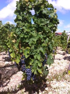 Biodynamic vine at Pontet Canet looking good desoite the high Mildew pressure this year