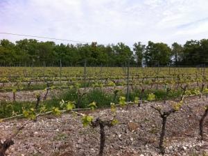 Frapin vineyard
