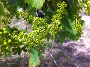 Figeac Merlot flowering 2015