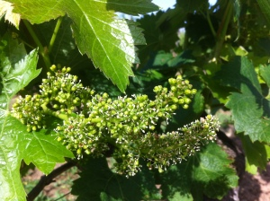 Merlot flowering at Lalande de Pomerol