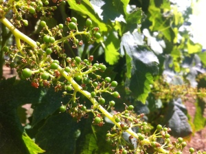 The forming of the baby grapes after pollination
