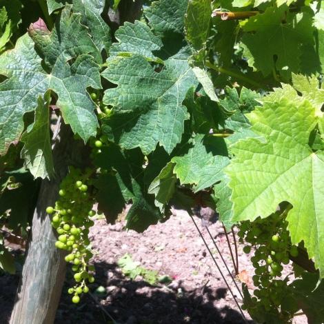 2015 Vintage Bordeaux powers ahead in thesunshine