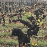 Aftermath of the Frost –Bordeaux