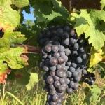 2017 Bordeaux  Wine Harvest – a game of twohalves