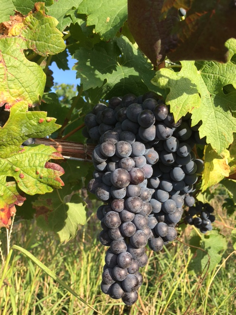 2017 Bordeaux  Wine Harvest – a game of two halves