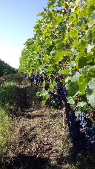 'Les Terres rouges' vineyard plot in St Emilion part of Château Béard la Chapelle