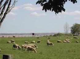 sheep pauillac grazing