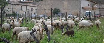 brebis sheep1