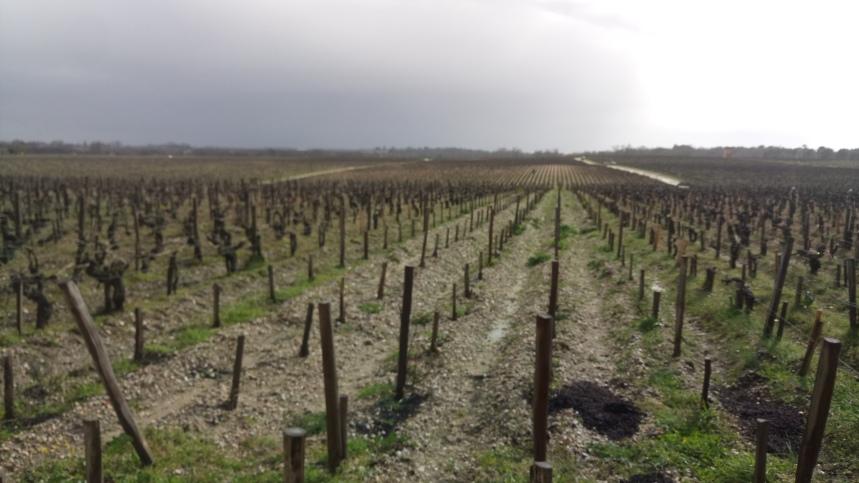Biodynamic Cabernet Sauvignon vines lieing dormant
