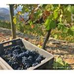 New Varieties to be added to the Bordeaux Melting Pot to combat globalwarming