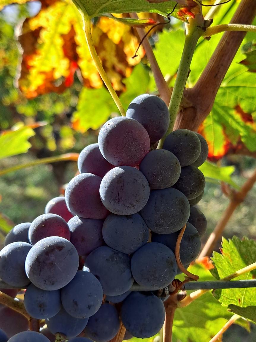 Harvest Recap Bordeaux2020